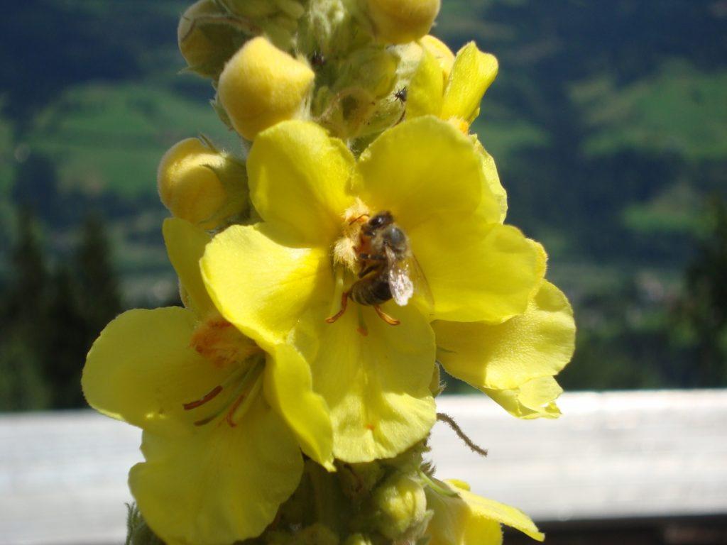 Königskerze mit Biene