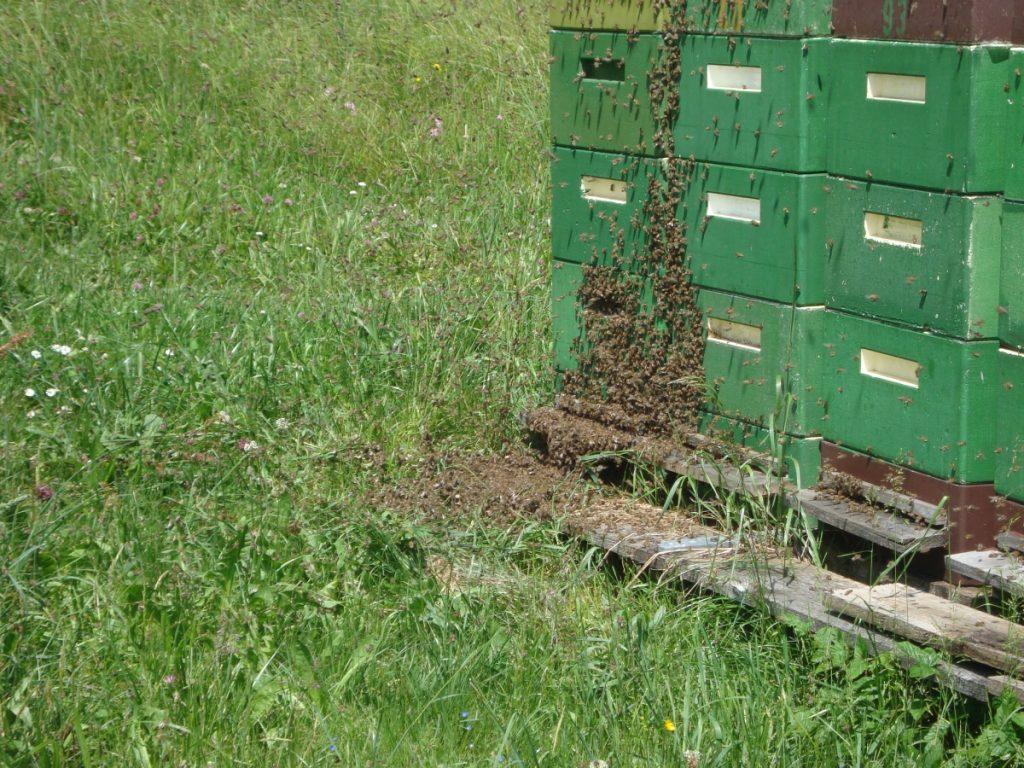 ein Bienenschwarm sucht eine Unterkunft Juni 2013
