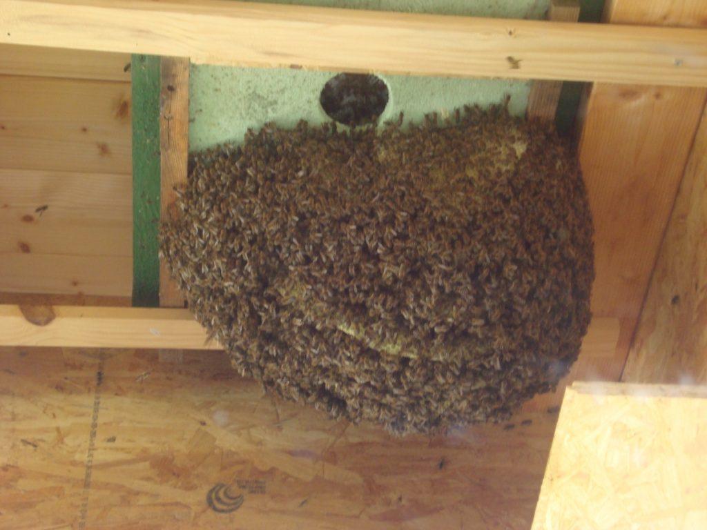 freihängender Bienenschwarm
